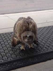 Our sweet little owl friend just marched right up to our front doors at work and hung out.